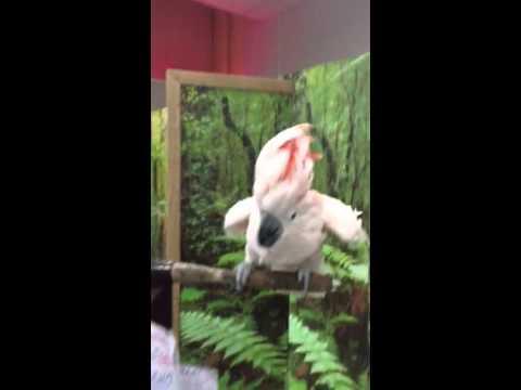 Попугай-истеричка боится щекотки