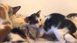 Nordiksnow Bicolour Oriental Shorthair Kittens Thumbnail