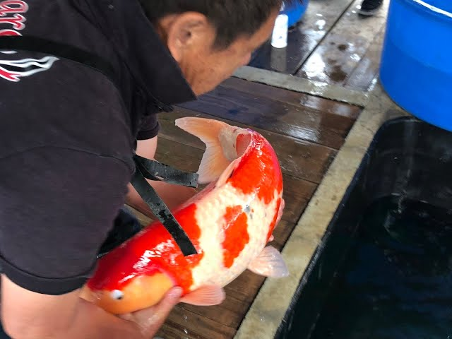 Today we visited 4 different Japanese Koi breeders! Check out how it is in Japan buying Koi!!
