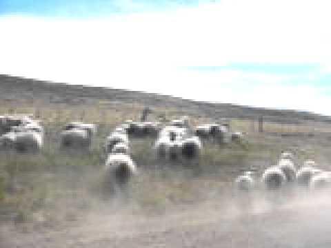 Ovejas desde el Camino - Tierra del Fuego - Argentina 2