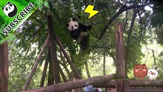 Sorry tree branches! Bear with the 30 kilograms Cheng Shi for a while!