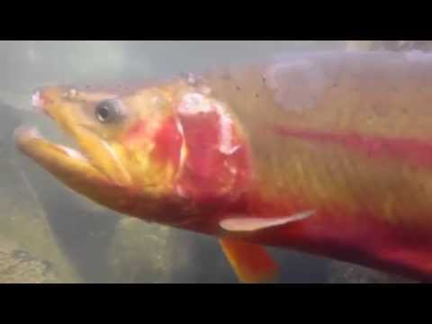 FLY FISHING FOR GOLDEN TROUT WIND RIVER MOUNTAINS WY 2014 ABEL ORVIS DRY FLY TAKES