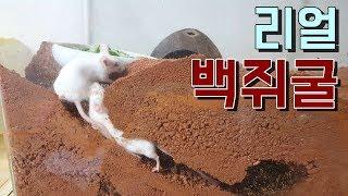 그렇게 보기 힘들다는 쥐가 땅굴을 파는모습이 촬영됐다❗
