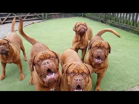 Regalrouge Dogue de Bordeaux at play!