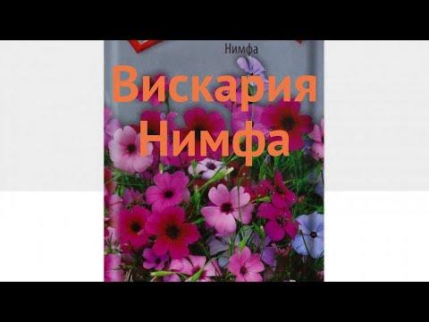 Вискария обыкновенный Нимфа (nimfa) �� вискария Нимфа обзор: как сажать семена вискарии Нимфа