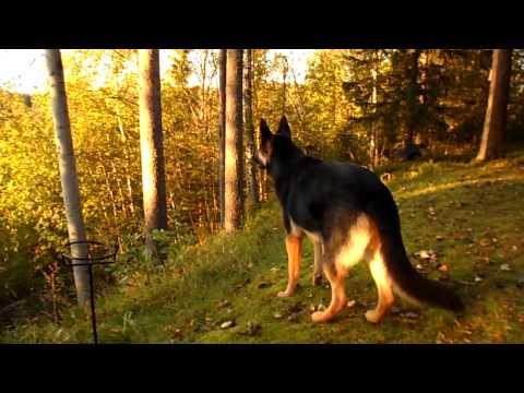 German Shepherd, Grym. The best guard dog !!