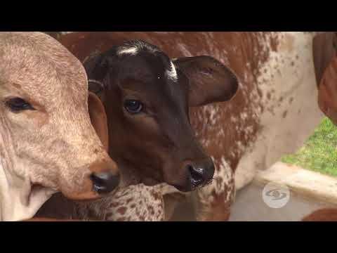 Rendimiento del gyrolando en producción lechera | La Finca de Hoy