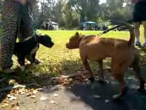 JAYDIE APBT 5 month ELI x CARVER blood puppy