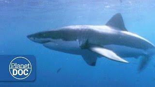 Australia. The Great White Shark | Live Ocean