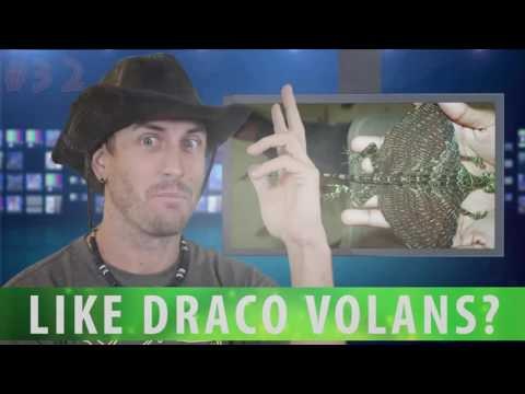 Meet Draco Volans   Real Flying Dragon