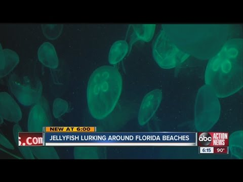 Jellyfish Lurking Around Florida Beaches