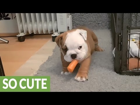 Carrot is English Bulldog puppy's new favorite toy