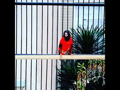 Red Siskin Gacor Sold Out