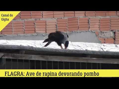 Flagrante de um  Falcão ou gavião devorando um pombo
