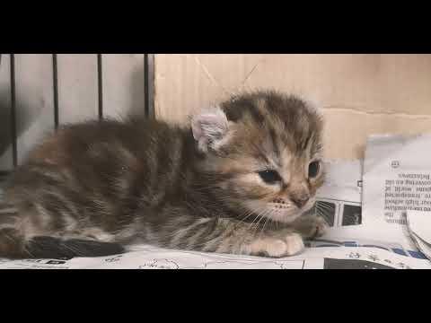 American curl kitten is so cute!
