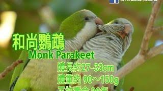 鸚鵡品種分享介紹 ~ 和尚鸚鵡 (Monk Parakeet)↓按下~詳盡文字介紹