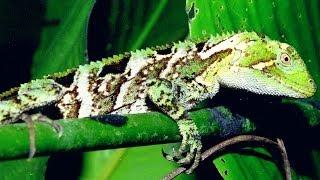 Chameleon eating his own peeling skin - Enyalius iheringii - Camaleão comendo a pele