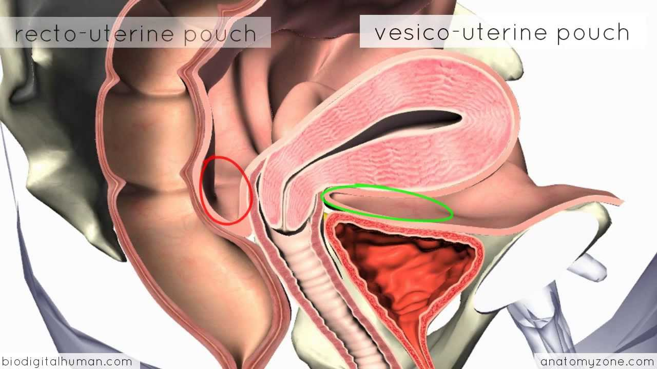 Introduction To Female Reproductive Anatomy 3d Anatomy Tutorial