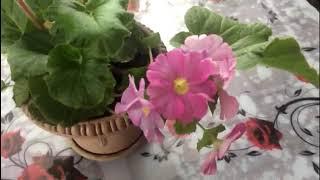 Примула комнатная. Уход за растением в осенне - зимний период