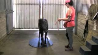 Clicker training miniature horse on wobble board