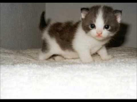 munchkin cat houston