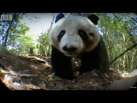 Panda Bear Marks Territory | Bears | BBC Earth