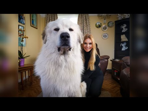 THE PYRENEAN MOUNTAIN DOG - DANGEROUS OR PROTECTOR? - Great Pyranees