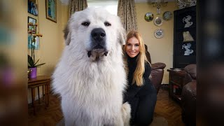 THE PYRENEAN MOUNTAIN DOG  DANGEROUS OR PROTECTOR?  Great Pyrenees