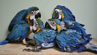 Life cycle of Wild tamed Macaw with their chicks