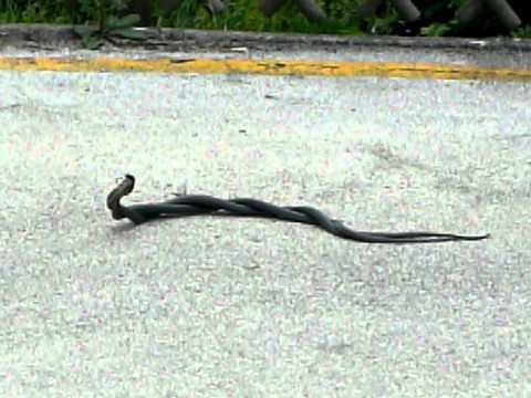 Terrore a lecce serpente in strada doovi for Serpente frustone
