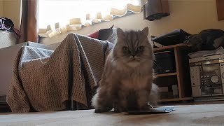 Persian cat howls in delight while eating tasty treat