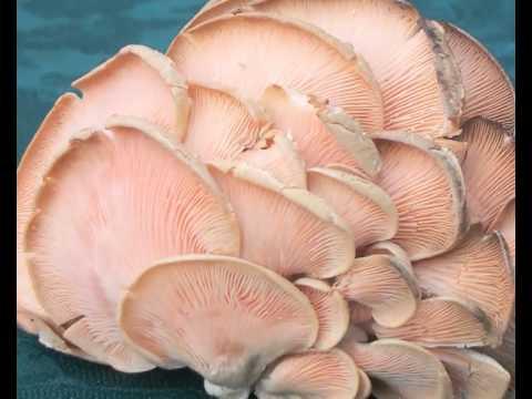 oyster mushroom utpadan taknik.mp4