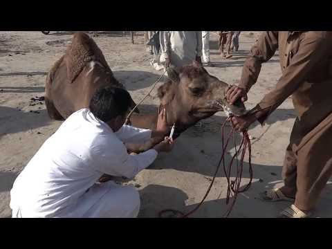 Camel Disease In Cholistan Desert In Pakistan Alarming Situation For WHO