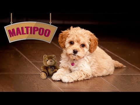 Maltipoo: Maltese Poodle Mix Facts - Cutest Designer Dog