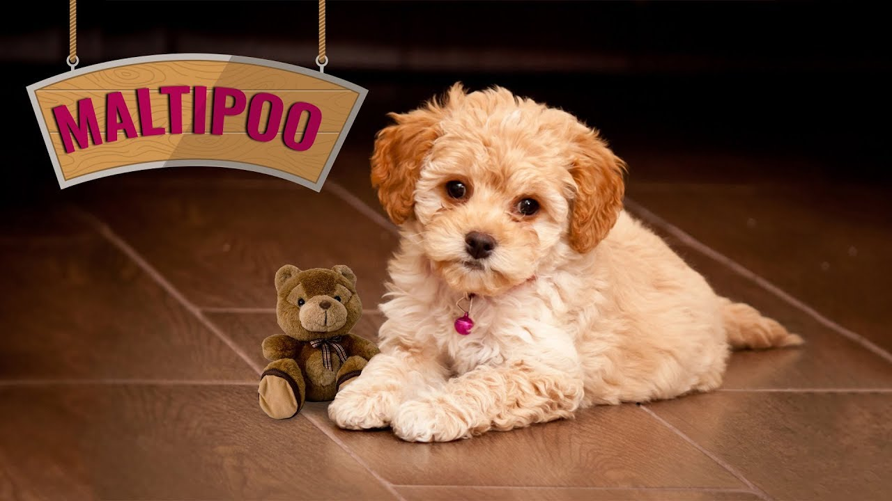 Maltipoo - 10 Breed Information On The Maltese Poodle Mix