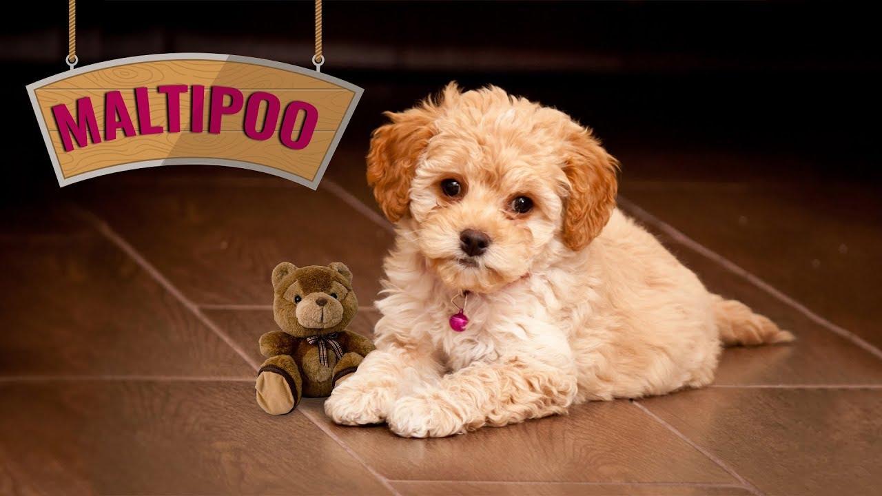 Maltipoo Puppy Maltese Poodle Designer Dog Mix