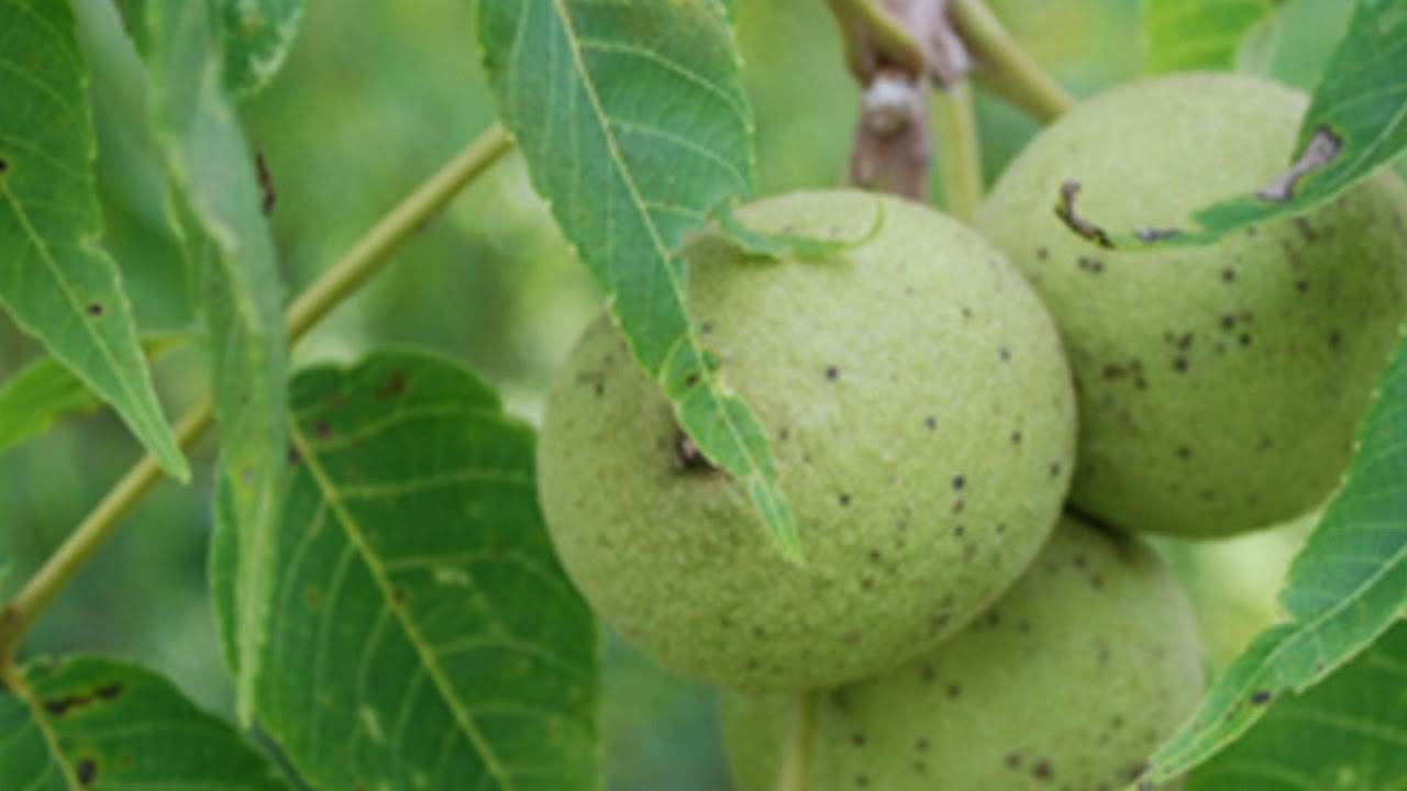 black-walnut-trees-discovering-the-value-age-and-survival-tactics