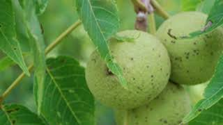 Black Walnut Trees: Discovering the Value, Age and Survival Tactics Video