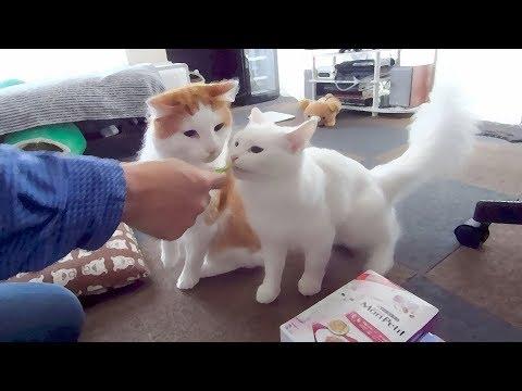 かわいい猫パンチとおやつタイム♪