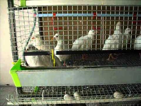 Evcillerim - Kuşlarım - Hayvanlarım