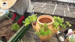 園芸家の杉井志織さんによる、イチゴ栽培容器「ストロベリーポット」を...