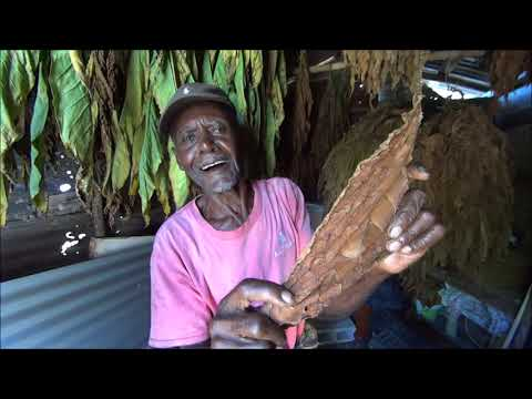 Doctor Grabba! How to Grow Natural Tobacco! Curing, Hanging, Drying!