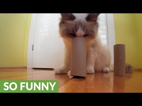 Clever cat dominates DIY shell game