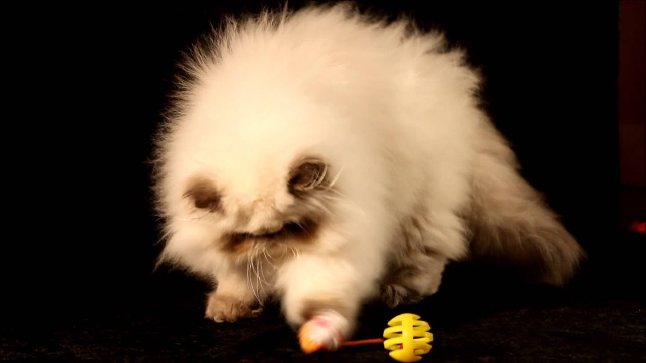 Blue Point himalayan persian kitten