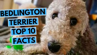 Bedlington Terrier  TOP 10 Interesting Facts