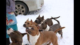 Стафф против других собак, стоит ли эксперементировать?