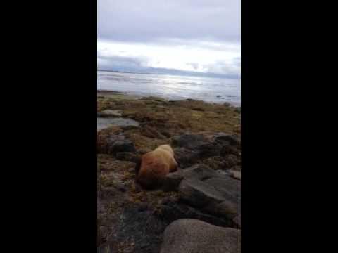 Steller Sea Lion at Shoals Pt. Sitka, Alaska