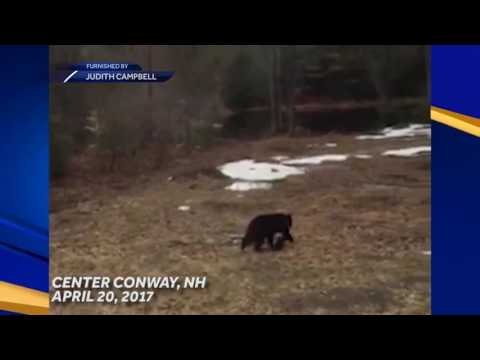 Awww! Bear, tiny cub spotted in Center Conway back yard