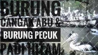 Aksi Burung Cangak Abu dan Burung Pecuk Padi Hitam di Kebun Binatang Surabaya