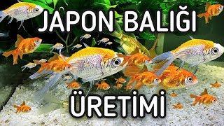 Japon Balığı Yavrulama ve Üretimi Nasıl Yapılır ?